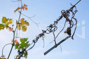 Detail of a vine and colored leaves