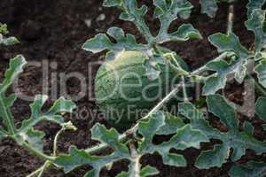 Young small round watermelon lie in the garden bed in fine clear weather morning