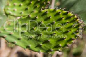 Prickly pear close up with cactus spines.