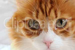 muzzle a fluffy red-headed cat close-up