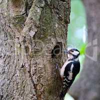 Cute Woodpecker on tree. Green forest background.