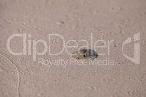 Florida keyhole sand dollar Mellita quinquiesperforata