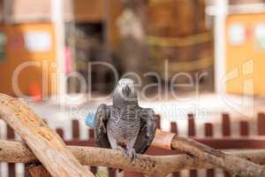 Pet African grey parrot Psittacus erithacus