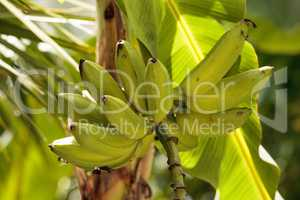 Cluster of bananas grow on a tree in a tropical agriculture gard