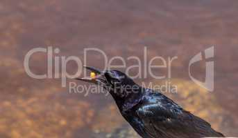 Boat tailed grackle bird Quiscalus major