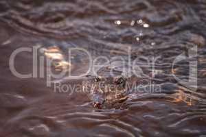 Florida softshell turtle Apalone ferox