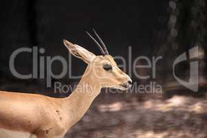 Slender-horned gazelle also called Gazella leptoceros