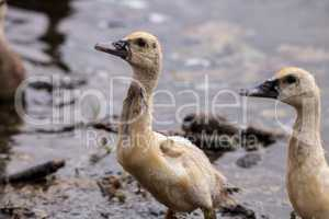 Adolescent juvenile muscovoy duckling Cairina moschata before fe