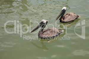Florida Brown pelican Pelecanus occidentalis in a marina