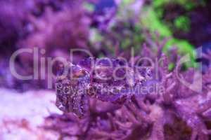Dwarf cuttlefish Sepia bandensis