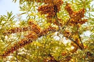common sea-buckthorn fruits