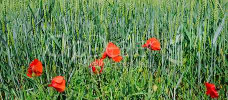Green field and bright scarlet poppies. Wide photo .