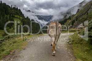 Kuh von hinten in den Alpen