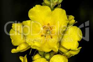 great mullein, medicinal plant with flower
