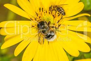 buff-tailed bumblebee and bee on compass flower