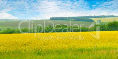 Canola field and blue sky with light clouds. Wide photo.