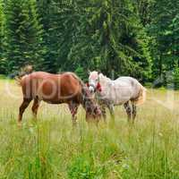 A pair of beautiful horses are grazing in a forest meadow.