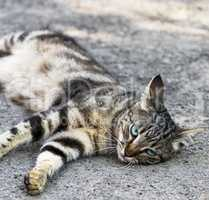 gray striped street cat with blue eyes lies on the asphalt