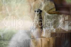 Meerkat standing up on a stump