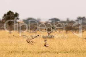 Cheetah chasing Thomson gazelle in whistling thorns