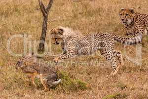Cheetah cub catches scrub hare beside mother