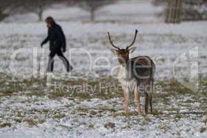 Hiker walking past buck in snowy park