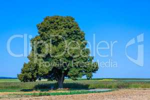 tall lime tree in the landscape