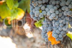Vineyard with Lush, Ripe Wine Grapes on the Vine Ready for Harve