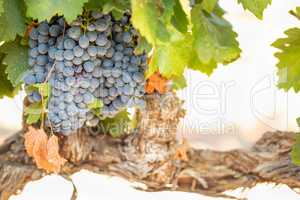 Vineyard with Lush, Ripe Wine Grapes on the Vine Ready for Harvesst