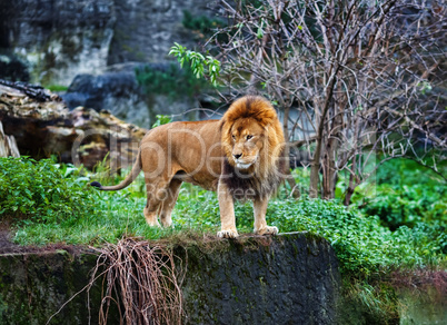 Single lion stands