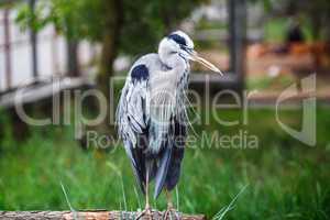 Grey heron standing