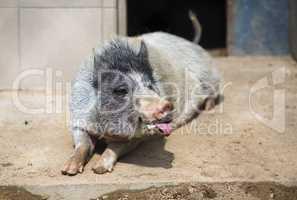 Pig shows tongue