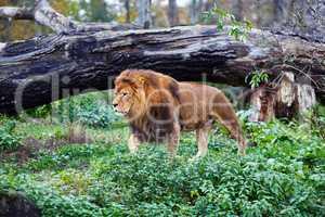 Single lion goes
