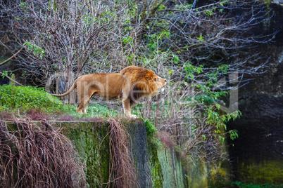 Single lion growls