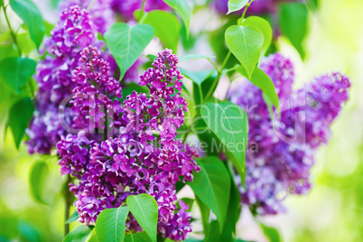Purple lilacs blossoms