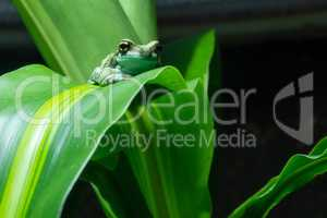 Amazon Milk Frog, Trachycephalus resinifictrix