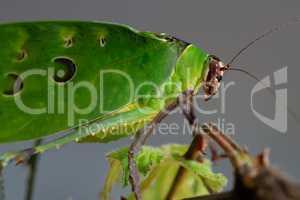 Malaysian leaf locust, Ancylecha fenestrata