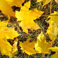 Background of yellow maple leaves.