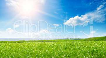Green pea field and sunrise in the blue sky. Wide photo .