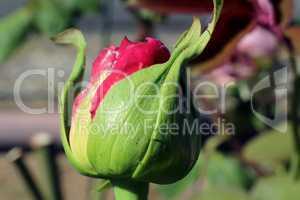 bourgeon de rosier