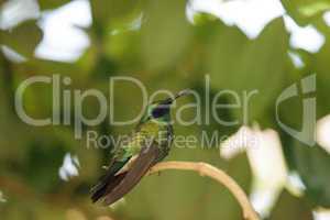 Sparkling violet ear hummingbird Colibri coruscans