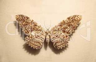 Great owlet moth Thysania agrippina