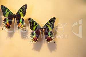 Madagascan sunset moth butterfly Urania ripheus