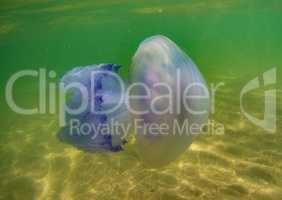 floating jellyfish under water in the Black Sea