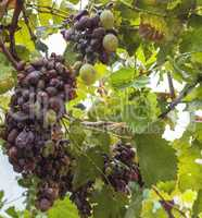 bunch of grapes with decaying berries from disease