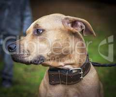 profile brown American pit bull terrier