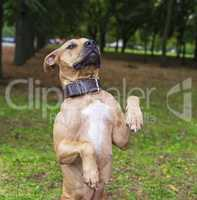 brown American pit bull terrier stands on its hind legs