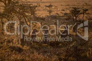 Backlit cheetah guarding four cubs at sundown