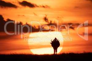 Blue wildebeest on horizon silhouetted against sun