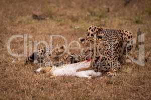 Cheetah and cub chewing scrub hare together